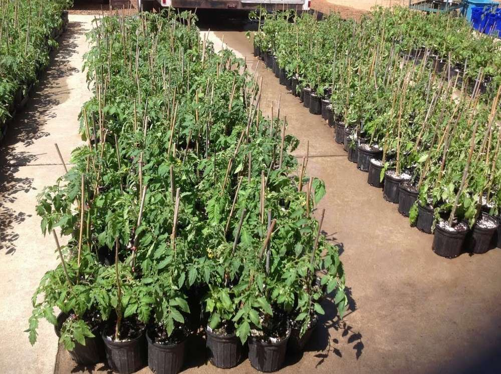 Tomato plants ready for sale